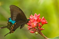 Free Black Swallowtail Butterfly Stock Images - 13595154