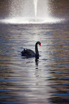 Free Swan Stock Photos - 13595613