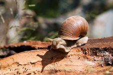 Free Snail On A Tree Bark Royalty Free Stock Photo - 13595825