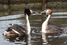 Free Grebes In Love Stock Photo - 13597950