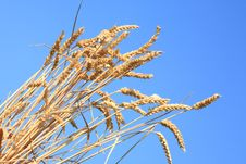 Free Wheat Stems. Royalty Free Stock Image - 13598306