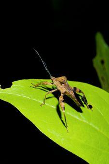 Free Grasshopper Royalty Free Stock Photos - 13598748