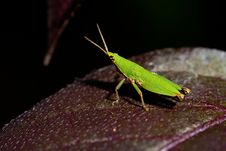 Free Grasshopper Royalty Free Stock Images - 13598749