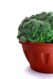 Free Cactus In A Pot Royalty Free Stock Image - 13598786