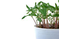 Seedlings Of Tomato Stock Photos