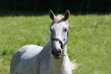 Free White Horse Stock Photography - 13599942