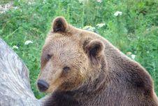 Free Brown Bear, Terrestrial Animal, Mammal, Bear Royalty Free Stock Image - 135982056