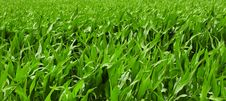 Free Grass, Field, Grass Family, Crop Stock Photography - 135982182