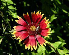 Free Flower, Blanket Flowers, Flora, Nectar Royalty Free Stock Photos - 135982298