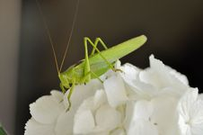 Free Insect, Grasshopper, Cricket Like Insect, Invertebrate Royalty Free Stock Photo - 135982305