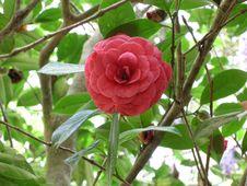 Free Plant, Flower, Flora, Japanese Camellia Royalty Free Stock Photo - 135982325