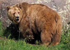 Free Brown Bear, Grizzly Bear, Terrestrial Animal, Bear Stock Photo - 135982380