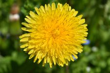 Free Flower, Yellow, Dandelion, Sow Thistles Royalty Free Stock Images - 135982959