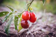 Free Fruit, Natural Foods, Potato And Tomato Genus, Tomato Stock Image - 135983091