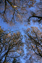 Free Trees To The Sky Royalty Free Stock Image - 1362626