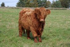 Free Highland Cow Stock Photos - 1360223