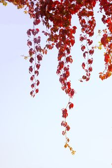 Free Red Leaves On Sky Royalty Free Stock Photos - 1360308