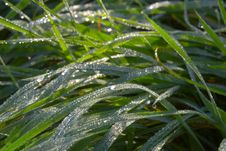 Free Dew Drops On Green Grass Royalty Free Stock Image - 1360316