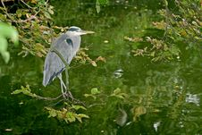 A Grey Heron Between Trees Stock Images