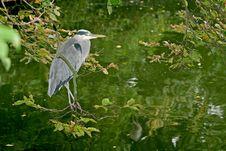 A Grey Heron Between Trees