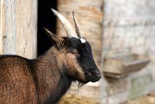 Free Goat Royalty Free Stock Image - 1361006