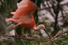 Free Pink Bird Royalty Free Stock Photos - 1362088