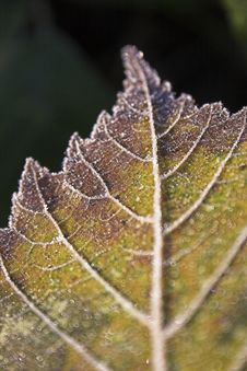 Free Close Up Leaf Royalty Free Stock Photography - 1362137