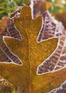 Free Oak Leaf Royalty Free Stock Image - 1362256
