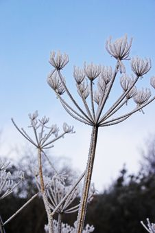 Free Frozen Umbellifer Royalty Free Stock Image - 1362276