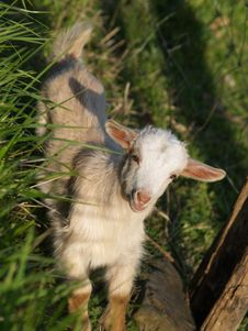 Free Baby Goat Royalty Free Stock Photography - 1362597