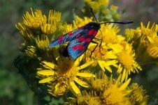 Six Spot Burnet - Zygaena Filipendulae Royalty Free Stock Photos