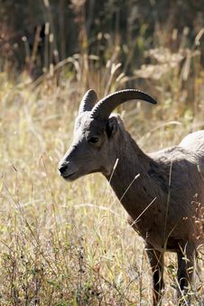 Free Bighorn Ram Royalty Free Stock Photo - 1363585