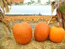 Free Pumpkin Patch Scene Stock Images - 1364584