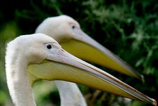 A Great White Pelican And His Friend Stock Photography
