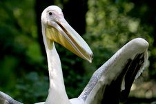 Great White Pelican Is Laughing Royalty Free Stock Images