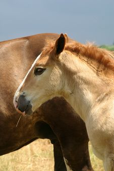 Free A Foal And His Mother Stock Photos - 1365183