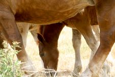 Free A Foal And His Mother Royalty Free Stock Photography - 1365187