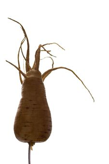 Freaky Parsnip Roots Stock Images