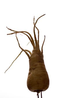 Freaky Parsnip Roots Stock Photo