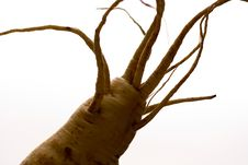 Freaky Parsnip Roots Royalty Free Stock Image