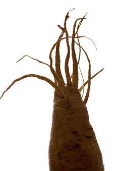 Free Freaky Parsnip Roots Royalty Free Stock Photos - 1365288