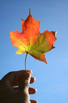 Free Holding Maple Leaf Stock Photography - 1365952