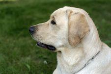 Labrador Retriever Dog Royalty Free Stock Images