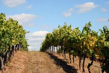 Free Vineyard Rows On Top Of A Hill Stock Photo - 1366400