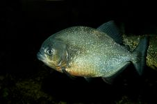 Free Piranha Royalty Free Stock Photos - 1366638