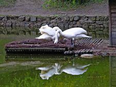 Nesting Swans Royalty Free Stock Image