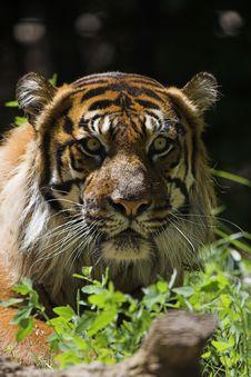 Free Sumatran Tiger Royalty Free Stock Image - 1367356