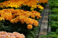 Free Fall Mums 1 Stock Photos - 1367483