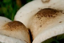 Free Couple Of Parasol Mushrooms Stock Images - 1368374