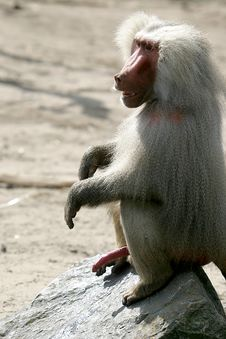 The Hamadryas Baboon Is Showing His Manhood Royalty Free Stock Photo
